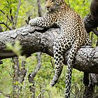 Leopard on a Limb by J. Day