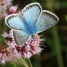 Chalkhill Blue Butterfly on Scabious flowers, Aston Rowant (Oxfordshire) by Michael Field