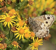 Grayling Butterfly nectaring on Ragwort flowers, Cumbria by Michael Field