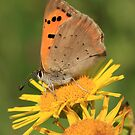Small Copper Butterfly on Fleabane flowers, St Mellons, Wales by Michael Field