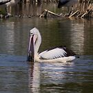 Pelican playing with Turtle  , was not swallowed by Kym Bradley