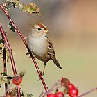A Juvenile White Crowned Sparrow by jozi1