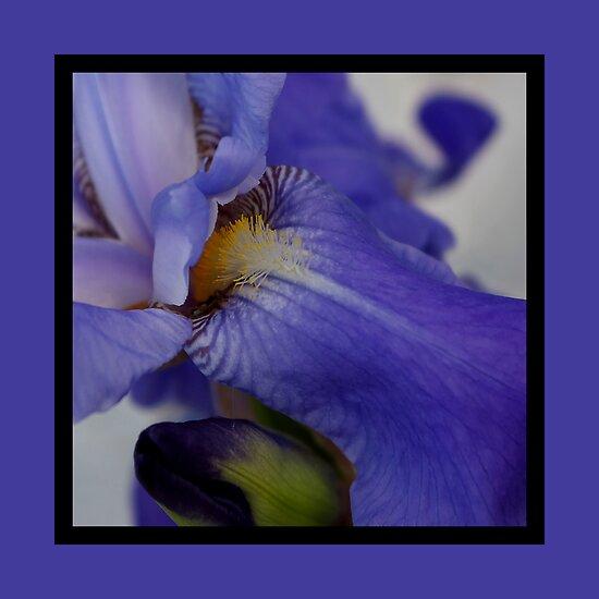 zebra iris 'tongue' (square) by dedmanshootn