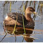 Pied-Billed Grebe - 2011 by Dennis Stewart