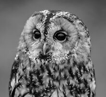 Tawny Owl in B&W by dulciemaephotos