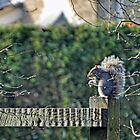 Squirrel On The Fence by lynn carter
