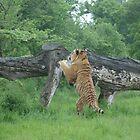 Tiger by DES PALMER