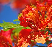 Red Flamboyant Flowers  by tropicalsamuelv