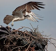 Mother Osprey  by Denise Worden