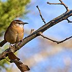 Carolina Wren by Otto Danby II