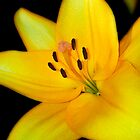 Bright yellow lily by Martyn Franklin
