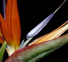 Bird of Paradise (2 of 3) by RachelBrame83