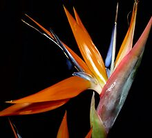 Bird of Paradise (3 0f 3) by RachelBrame83
