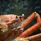 King Crab Grin by Jeanie93