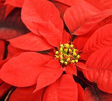 Red Red Red Poinsettia by Linda  Makiej