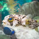 Puffer Fish by Jeanie93