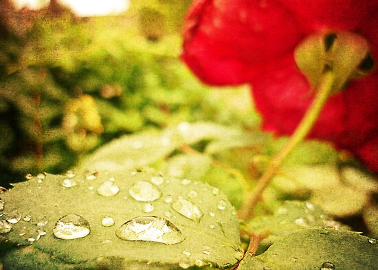 A string of pearls for a rose - Rain Drops Red Rose by Denis Marsili - DDTK