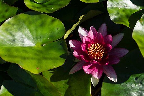Vivid Magenta Lotus Bloom by Georgia Mizuleva