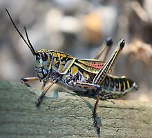 The Lubber Grasshopper by Rose Cavaco