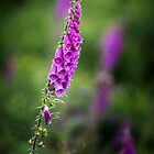 Foxglove - 02 by Paul Croxford