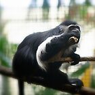 Colobus Monkey by Dana Horne