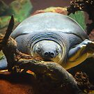 Soft Shell Turtle  by Jeanie93