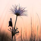 Pasque Flower in cool morning by viktori-art