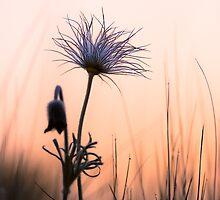 Pasque Flower in cool morning by viktori-art