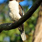 Laughing Kookaburra. Cedar Creek, Qld, Australia. by Ralph de Zilva