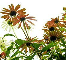 Cone Flower Field by Kathie McCurdy