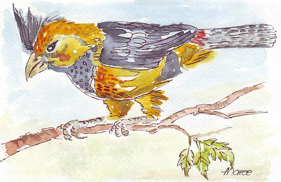 Crested Barbet in my garden by Maree  Clarkson