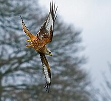 Red Kite Stooping to Right by Sue Robinson