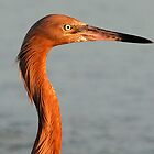 A reddish Egret in profile by jozi1