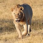 A young lion on the run ! by jozi1