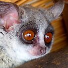 Hush Little Baby Don't Say A Word...Bushbaby - Galagos - South Africa by AndreaEL