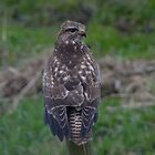 Common buzzard - II by Peter Wiggerman