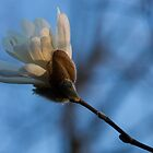 Blue Sky Magnolia Blossom - Dreaming of Spring by Georgia Mizuleva