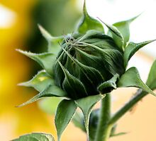 Sunflower in the process of open by Amadeus-ch