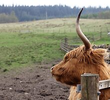 Hairy Coo in Scotland by Samantha Vilkins