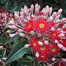 Australian Native Flower (with ants) by sedge808