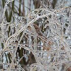 Toronto Ice Storm 2013 - Pale Frozen Grasses  by Georgia Mizuleva