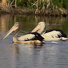 Pelican with a difference  22/12/13 by Kym Bradley