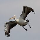 Bit of a wobbly Landing  Pelican by Kym Bradley