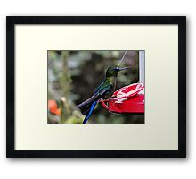 Blue-Mantled Thornbill In Mindo Framed Print