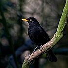 Woodland Blackbird by HelenBeresford