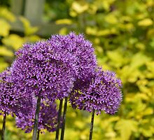Purple Alliums by Jack Crinks