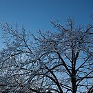 Toronto Ice Storm 2013 - Shiny, Icy Tree Branches by Georgia Mizuleva