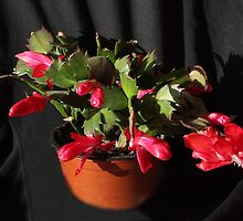 The others are on cue - Christmas Cactus 11 by Rivendell7