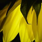sunflower glowing by Sunshinesmile83