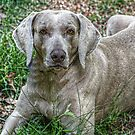 Weimaraner by Ginger  Barritt